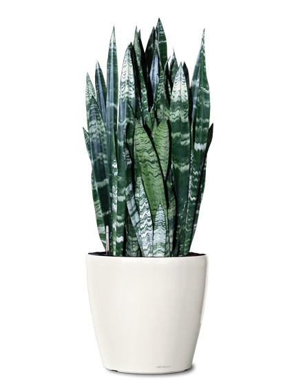 black-coral-snake-plant-small-ornamental-plantl-sanseviera-black-coral-realornamentals.com-web.jpg