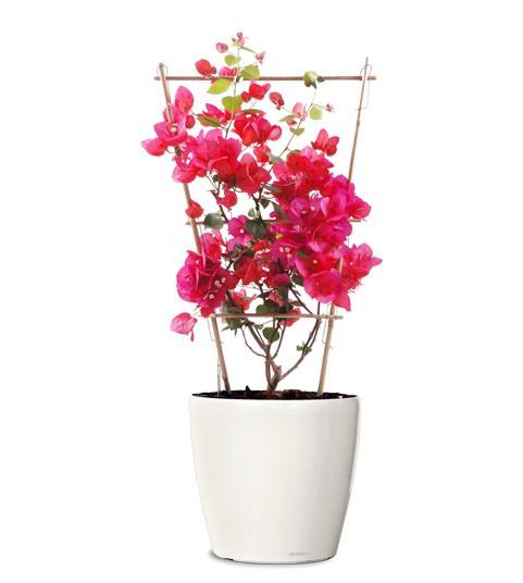bougainvillea-plant-small-pink-flower-plant-realornamentals.com-web.jpg