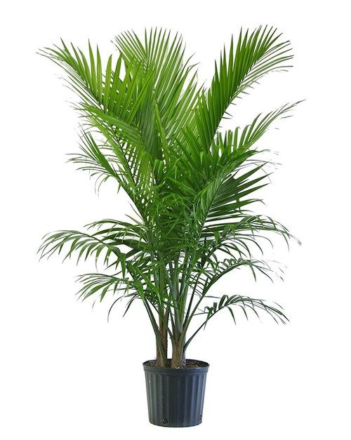 Majesty-Palm-Pot-21.jpg