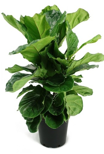 Ficus Lyrata Fiddle Leaf Shrub.png
