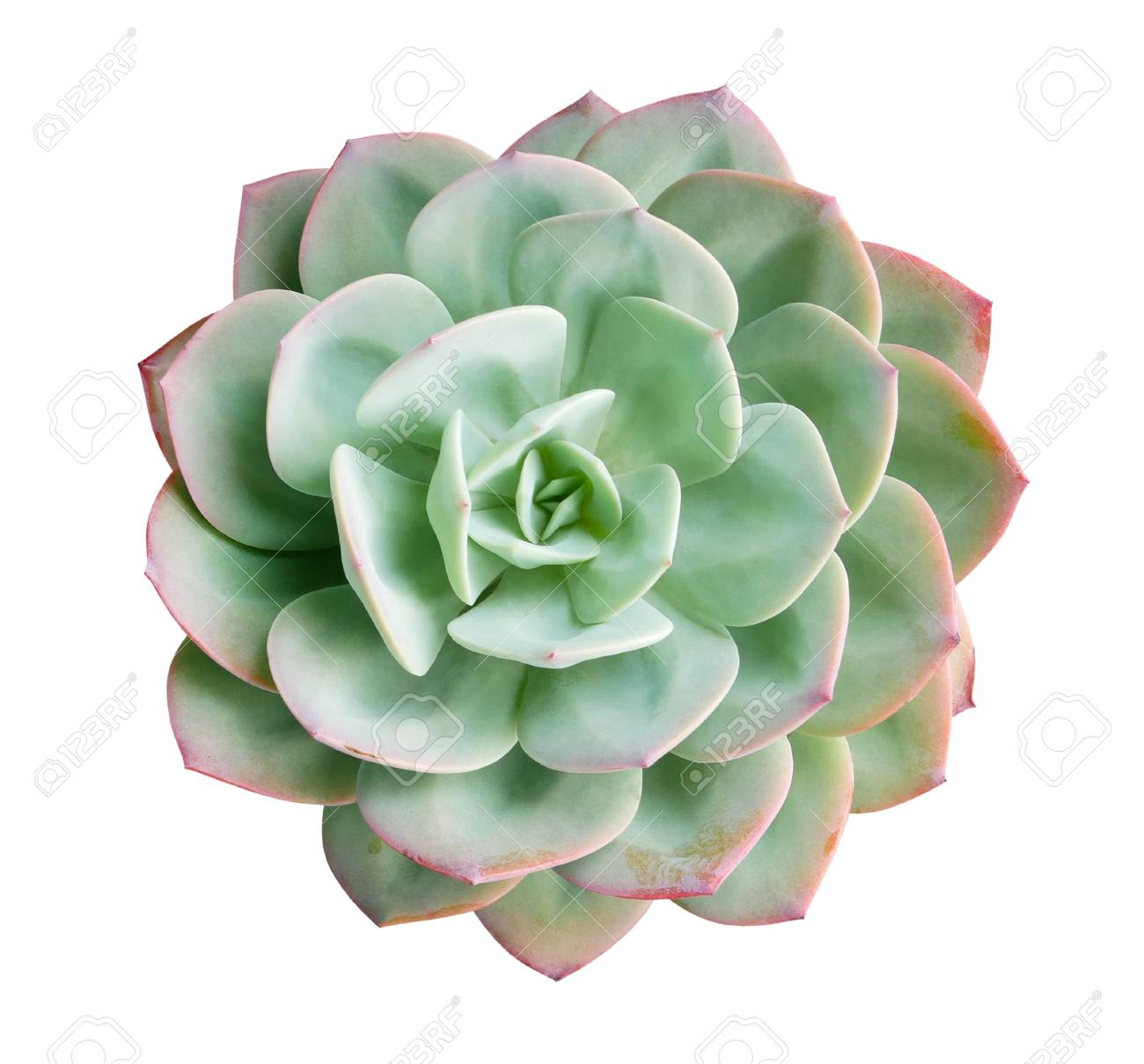 119253323-green-succulent-cactus-flower-plant-top-view-isolated-on-white-background.jpg