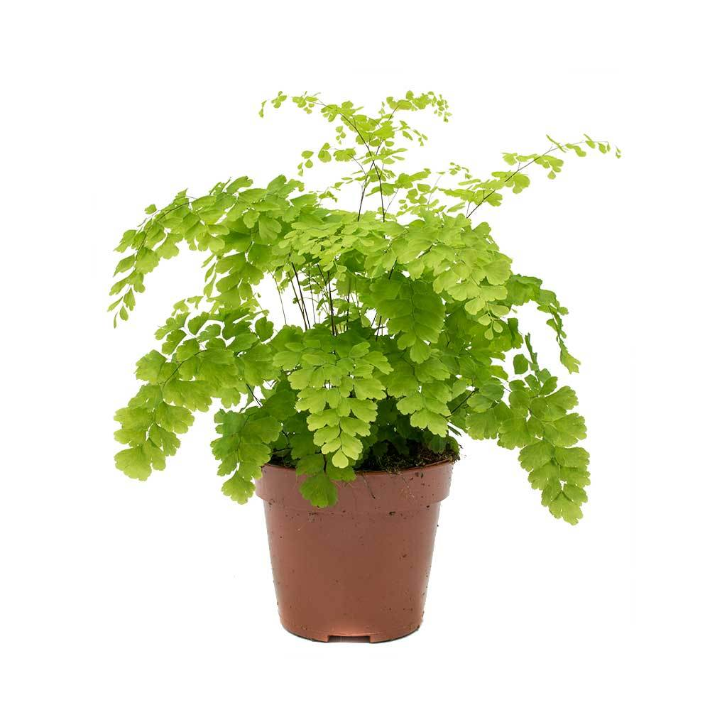 Adiantum-Fragrans-Delta-Maidenhair-Fern_2000x.jpg