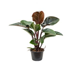 philodendron-red-congo-8718233303332-0_300x300.jpg
