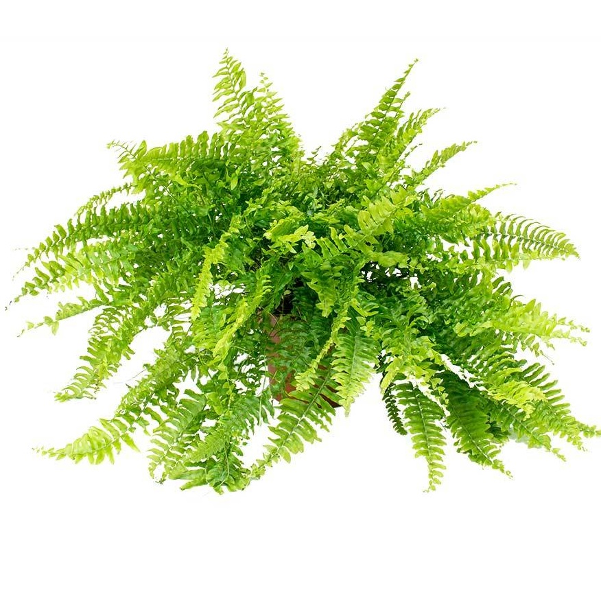 Nephrolepis-exaltata-Bostoniensis-Boston-Fern_2000x.jpg