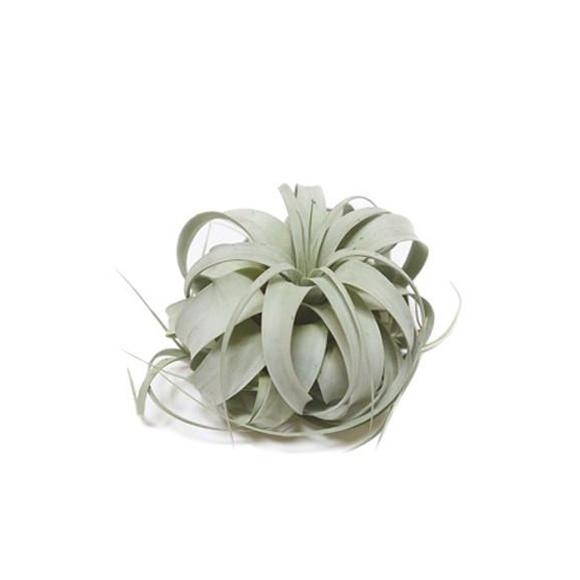 Tillandsia-Xerographica_web3_580x580_crop_center.jpg