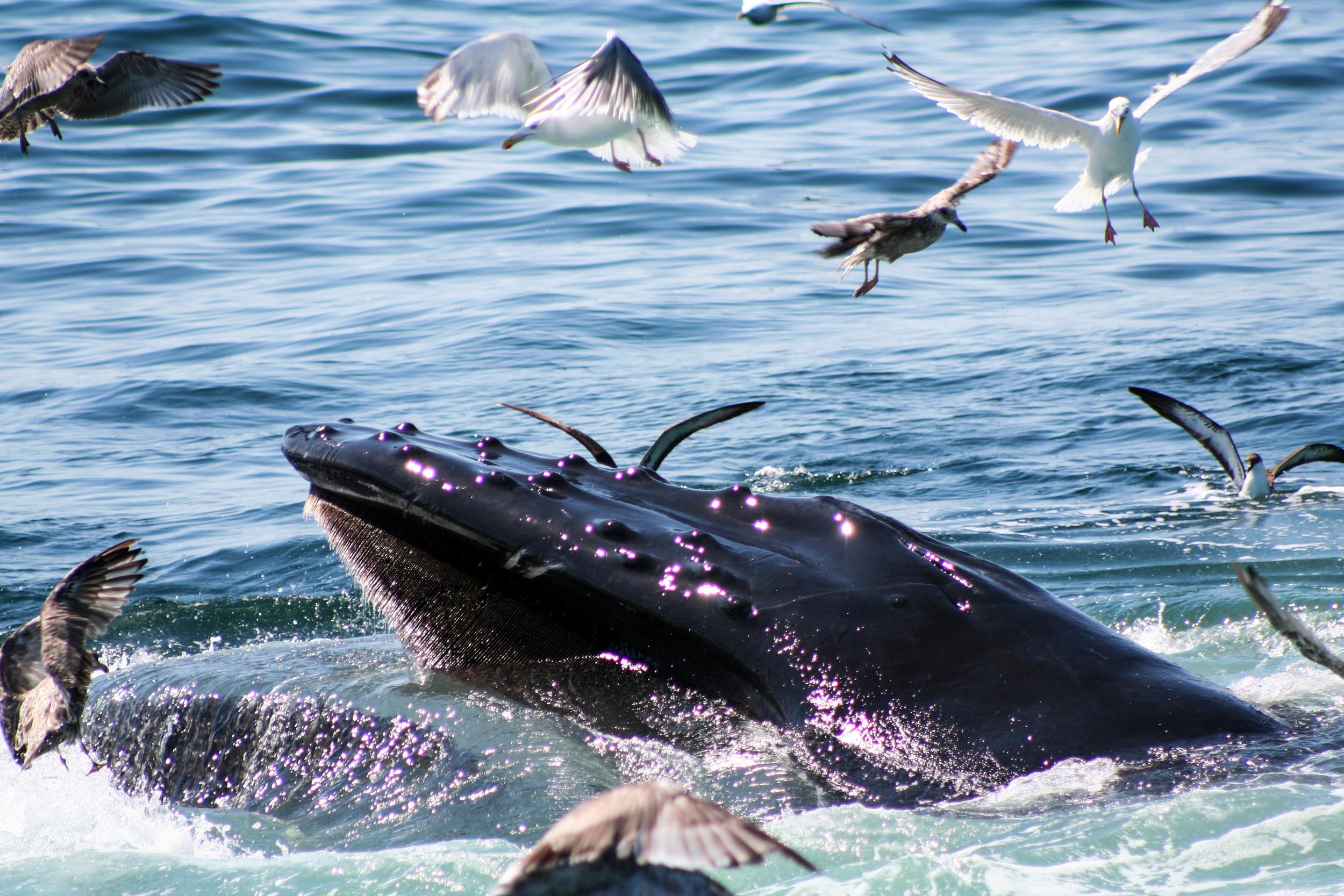 other-humpback.jpg