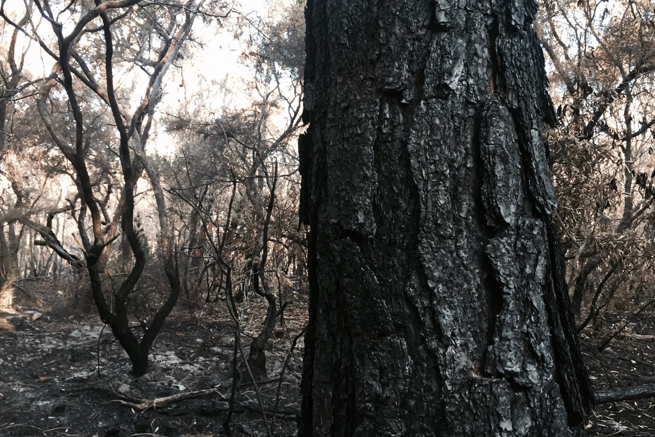 PICTURED: The charred bark of a pine tree in bushland near Lennox Head, NSW.