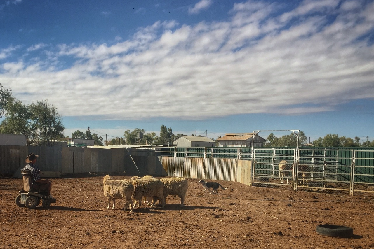 Pictured: Steven Elliot training a 'working dog' in the skills of mustering sheep and cattle from his home in Winton, Queensland.