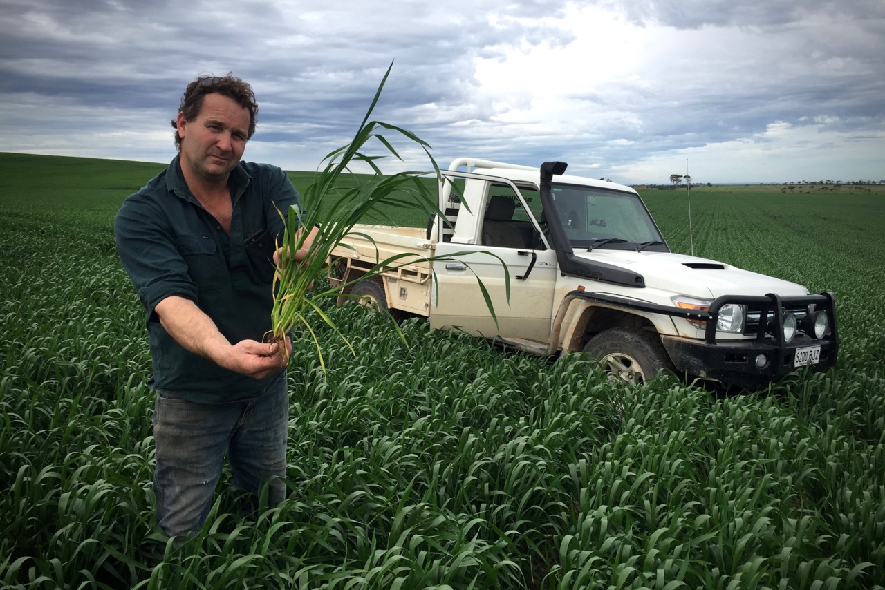 Pictured: Elden 'Bousa' Oster holding a cluster of wheat stems in a paddock that has miraculously flourished despite the erratic weather conditions of the past season.   Along with his sons Jake and Charlie, Elden Oster takes great pride in working the land. He sees it as a great privilege to be part of feeding the world from the family farm on the Yorke Peninsula in South Australia. Despite the lack of early rains in April/May this year Elden moved ahead in faith to begin planting crops, asking God to use the land as a witness of His provision and faithfulness. Miraculously, the crop in this paddock is thriving. It's still a long way to go before reaping begins in November but this is just another example of faith for the harvest. Believing for God's best in the tough times and the good times.  From one humble seed planted in faith an abundance can come. There are nine healthy stems on this one plant that all have the potential to produce quality heads of wheat. From one seed a multitude will grow. It seems to be the master plan of everything God has created. Please pray for the farming families across Australia who work tirelessly every year to produce food for the nations of the world. Without them we would not have the basic essentials for our everyday lives.