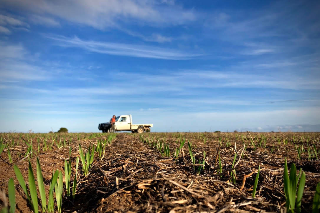 Pictured: Yorke Peninsula farmer Elden Oster checking out the new seasons crop.