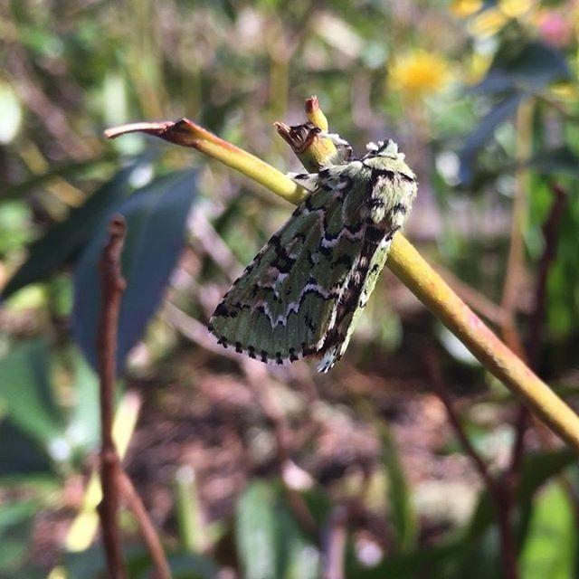 Tha Scribbler Moth (Cladara limitaria) chowing on Kalmia Mountain laurel #cladaralimitaria #kalmia #pnw #oregon