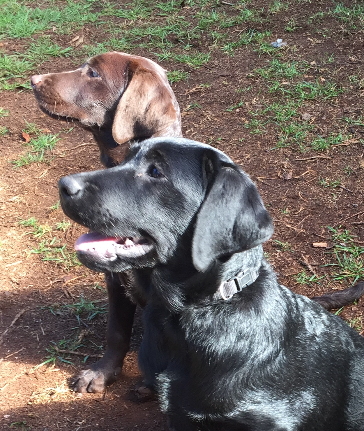 Polly & Fudge are Ebony's girls from her last chocolate and black litter of labrador pups