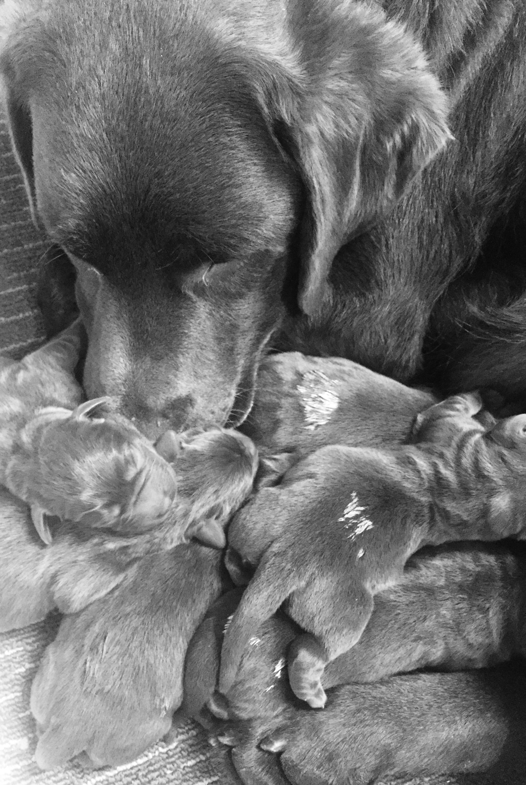 DELILAH'S first chocolate litter of 9