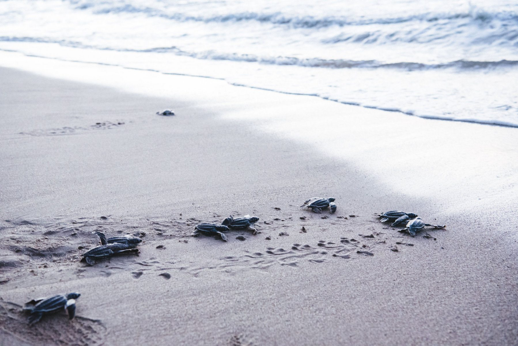 Baby turtles hatching and race to the ocean for the first time at Grande Riviere Bay