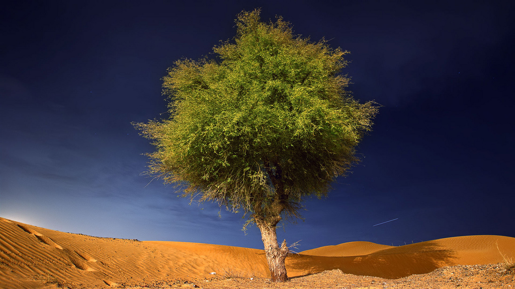 The Ghaf tree is a drought–tolerant, evergreen tree which is, possibly, the sturdiest plant of the harsh desert environment In the UAE.