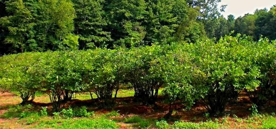 rowofberries_0.jpg