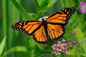Monarch butterflies have been in a period of extended population decline, but Holmes Soil & Water Conservation District is collecting milkweed pods to help increase monarch habitat.
