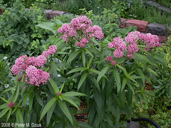 Holmes SWCD will serve as a collection point for milkweed pods from both common & swamp (pictured above) milkweed in an effort to enhance habitat for monarch butterflies.