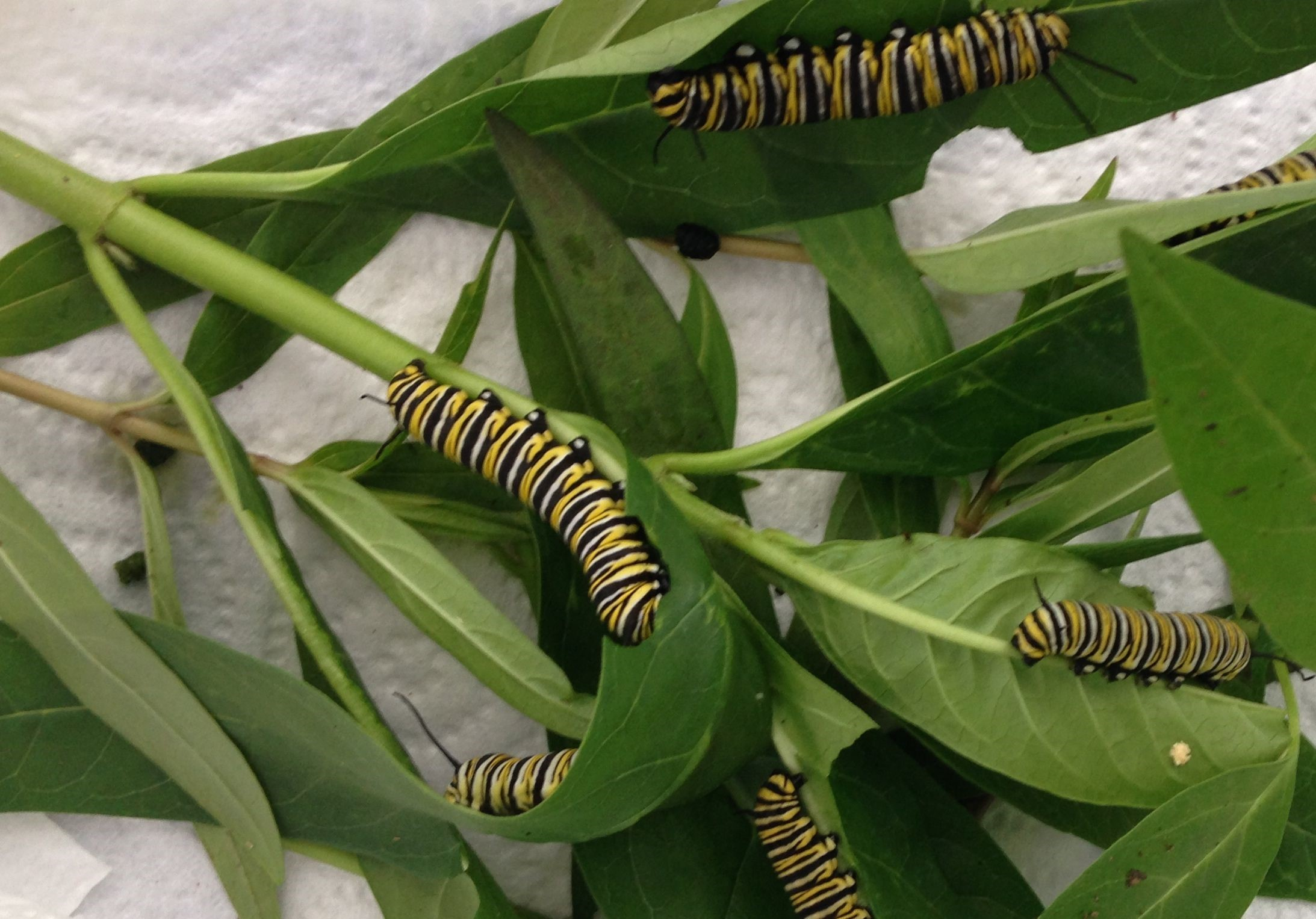 Monarch larvae.jpg