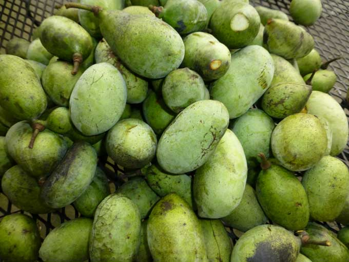 Paw Paw fruit - a delicious treat fresh or baked!