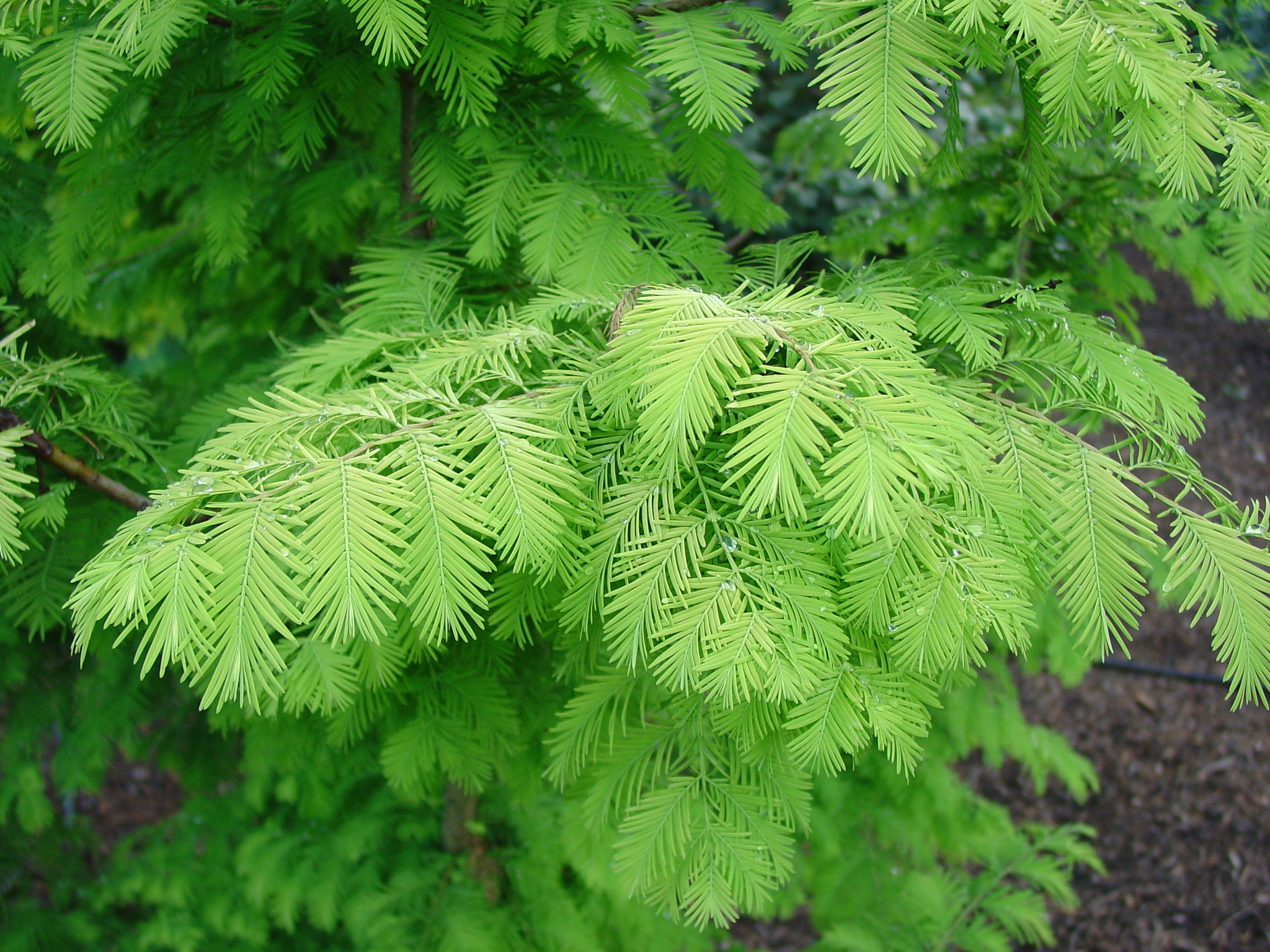 Dawn Redwoods are known for the beautiful, soft green needle foliage but were once thought to be extinct.