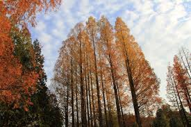 Dawn Redwoods are a deciduous conifer, which means their leaves turn a beautiful rust color in the fall like broadleaf deciduous trees and fall to the ground.