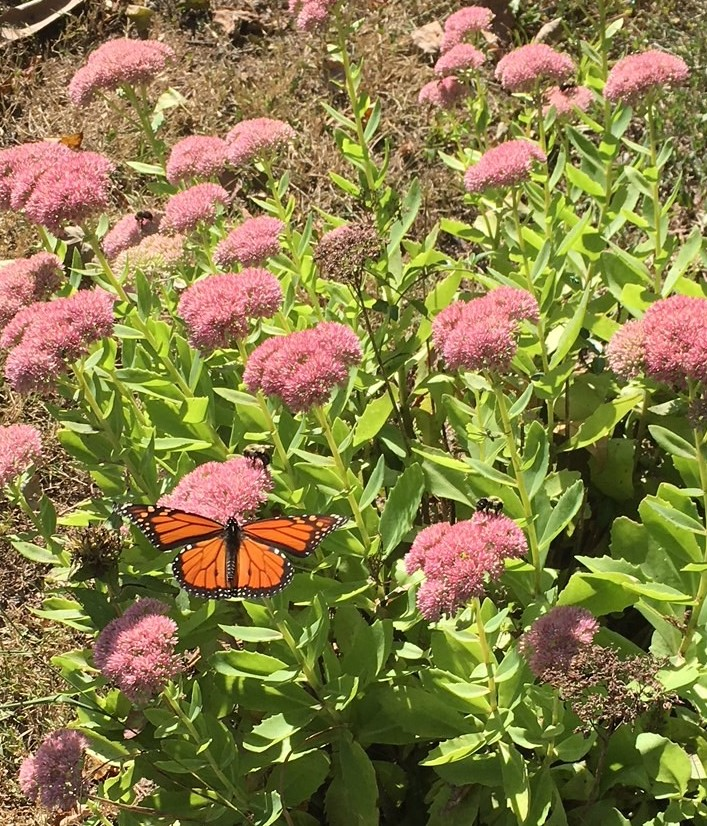 Monarch on sedum.jpg