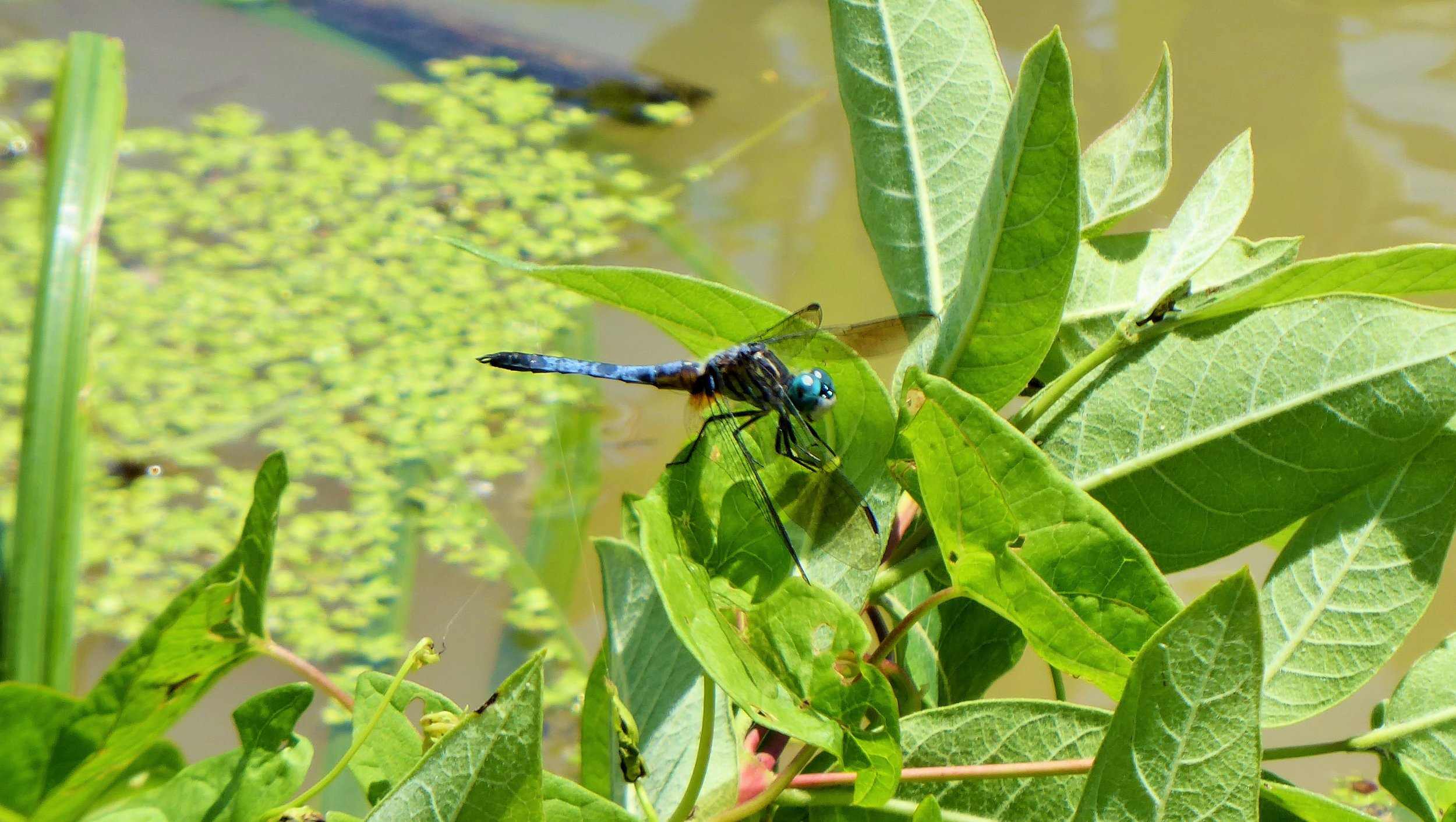 A dragonfly catches its breath along the Killbuck Creek.
