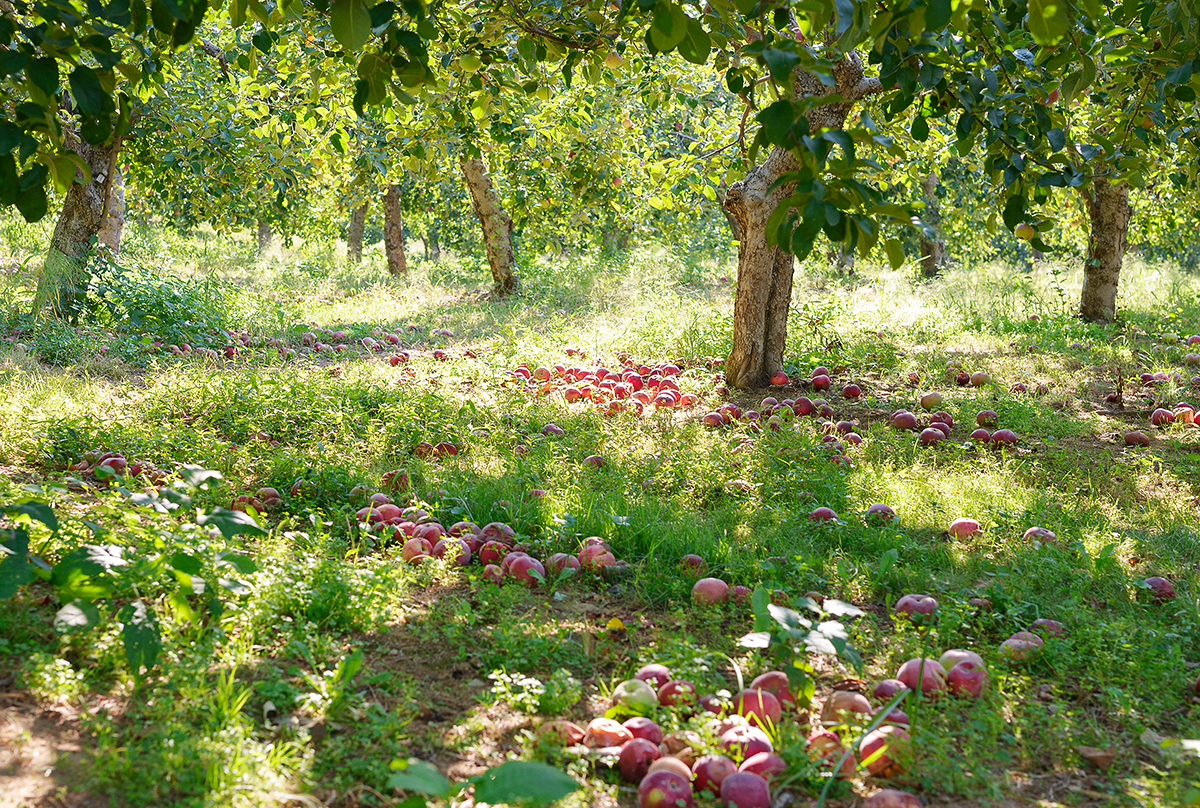 Apple Orchard, Connecticut, 2015