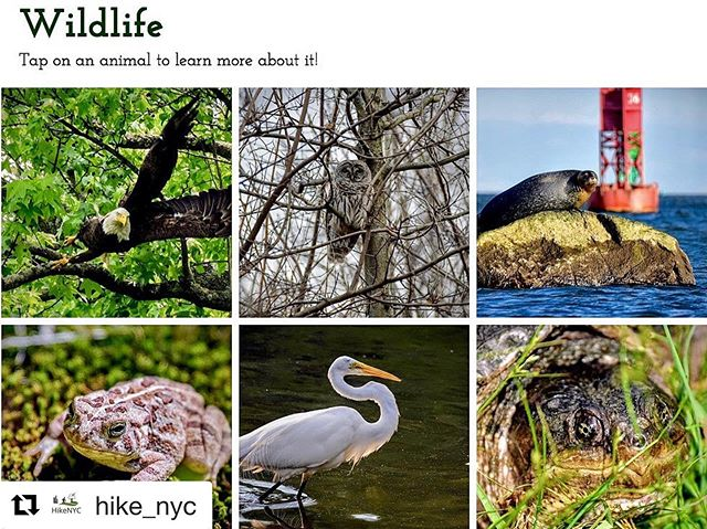 "I'm not even slightly biased and this is amazing. That terrapin is looking at YOU. #bignews #spreadtheword  #Repost @hike_nyc with @get_repost ・・・ BIG NEWS!!! HikeNYC (link in bio) now features a brand new ""Wildlife"" page with 30 high quality images and descriptions of local animals. And that's not all...see updated hiking guides for where to find them. Spread the word!  #hikenyc #nycnaturephotography #hikenyc #wildlifeinnyc #wildnyc #nycwild #nycwildlife #animalsofnyc #nycanimals #nycnature #naturenyc #newyorkcityhike"