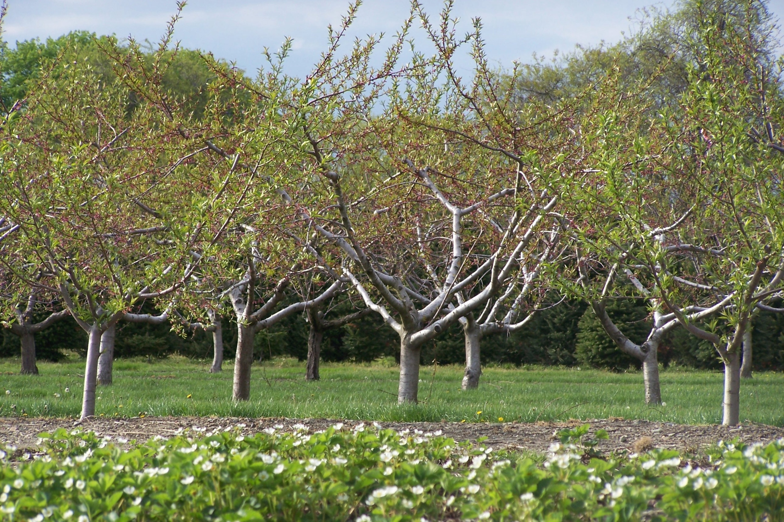 Sweet Berry Farm fruit trees