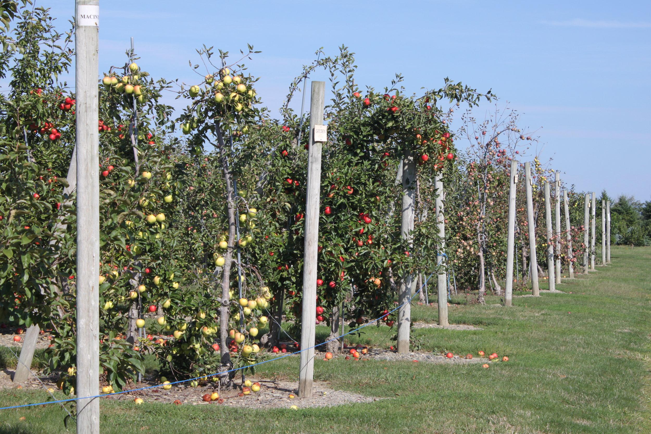Apple Orchard Sweet Berry Farm Middletown Rhode Island Photo by Katherine Gagliano.JPG