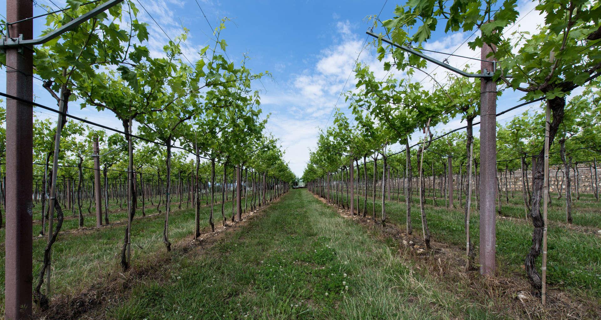 Già nella metà del 1800, Santa Sofia era apprezzata per l'ottima qualità dei suoi vini, prodotti con le uve attentamente selezionate dalle zone più vocate e meglio esposte delle colline circostanti.