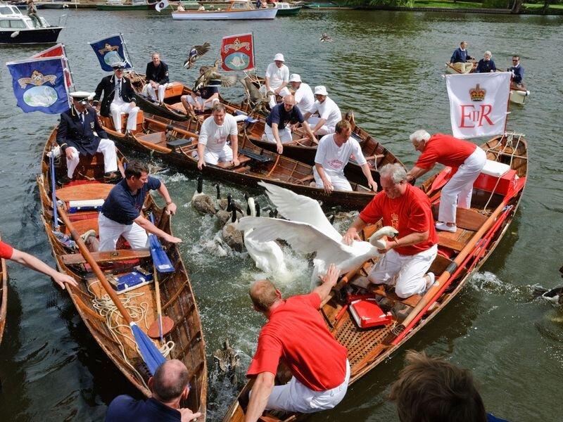 Un momento del Royal Swan Upping, la cerimonia di censimento dei cigni nel Tamigi di Londra.