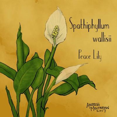 peace lily2.jpg