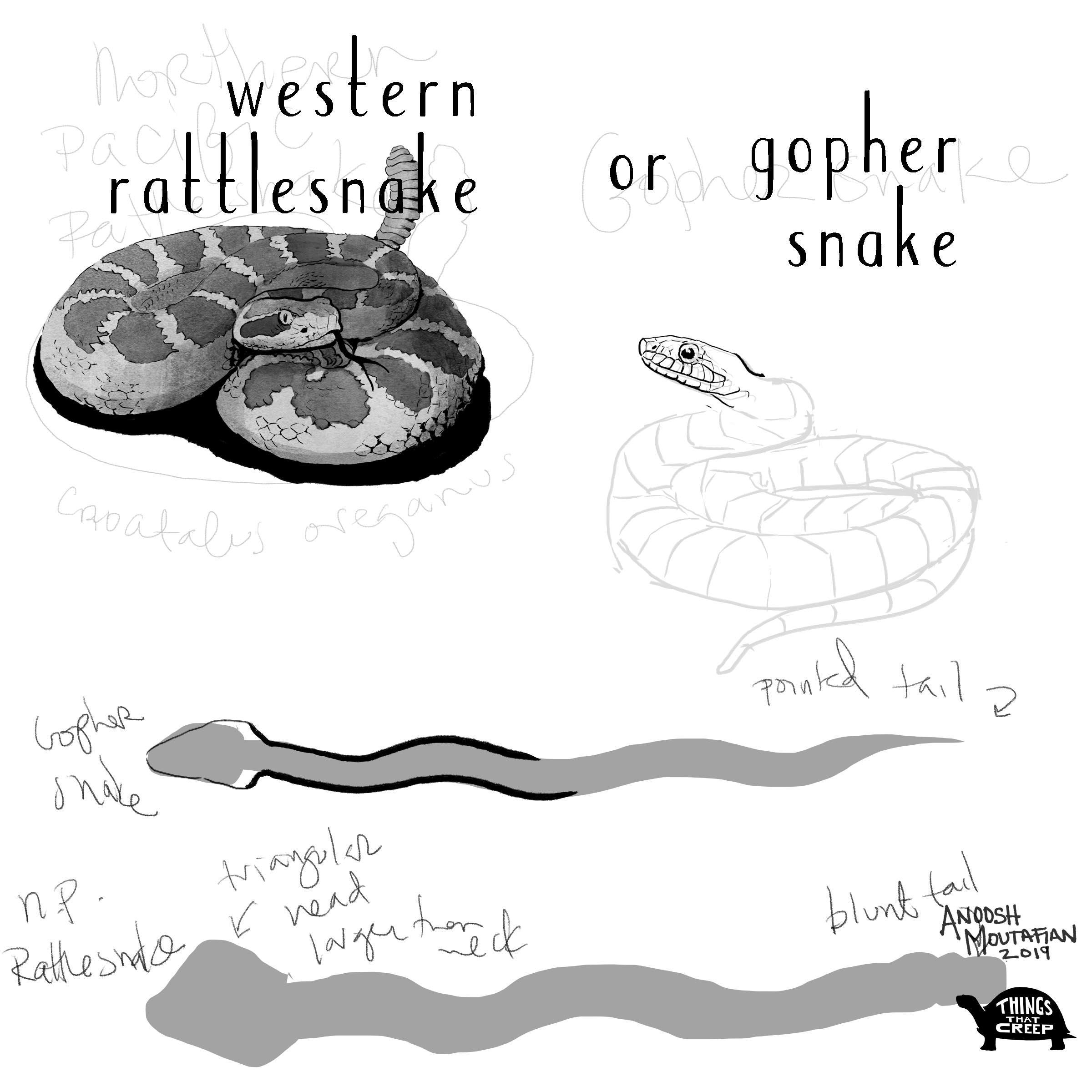 rattler vs gopher_2.jpg
