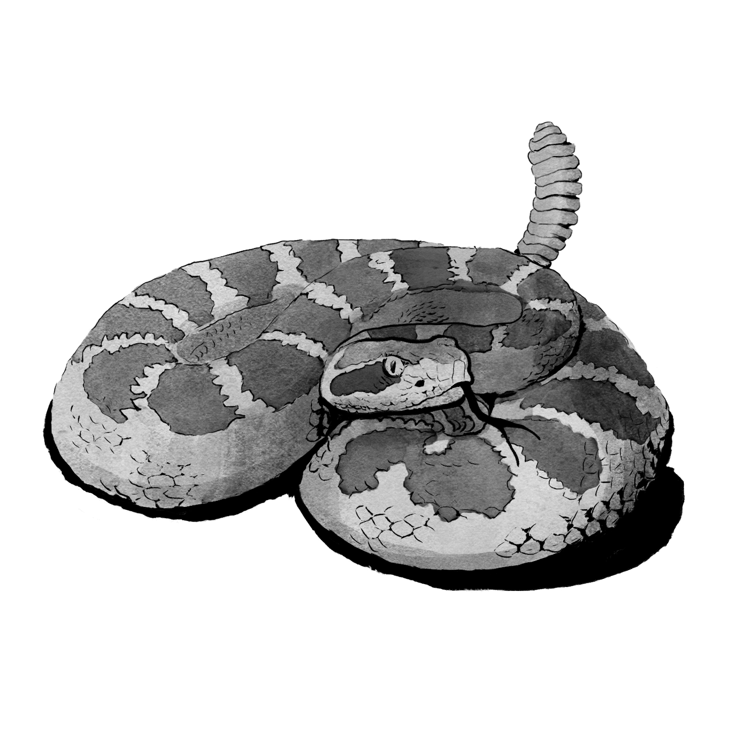 Pupil shape differs in the two species, and is a great way to differentiate between venomous and non-venomous species. Labelling this would have crowded the image, but getting it right and making the pupils highly visible paves the way for further discussion.
