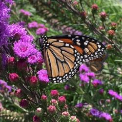 monarch closeup.JPG
