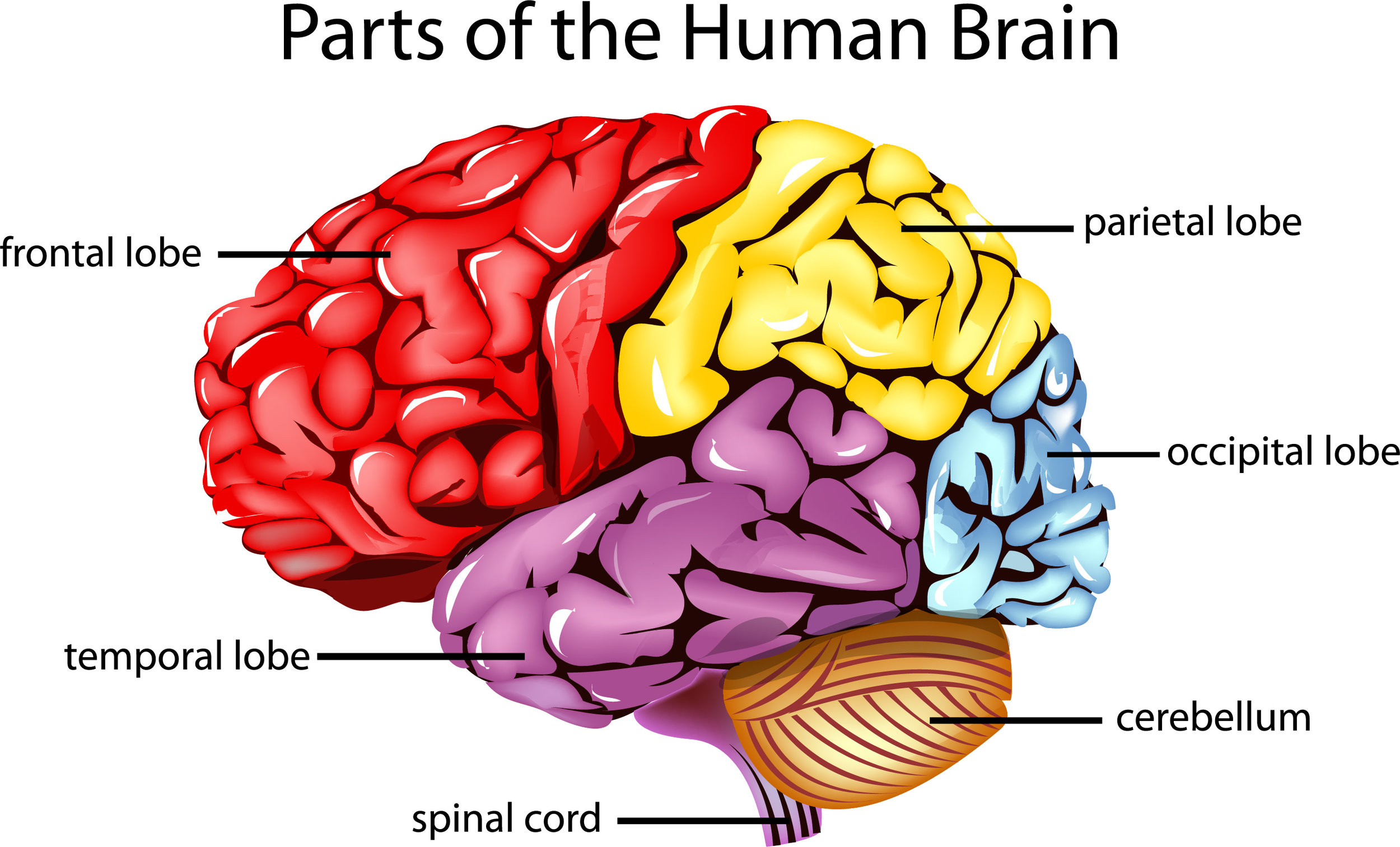 AdobeStock_41308971 parts of Brain [Converted].jpg