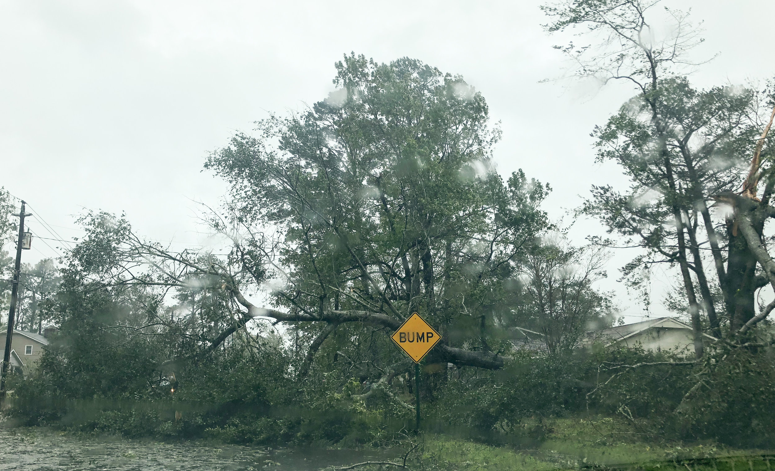 Hundred year old trees toppled over with the effects of Hurricane Florence.