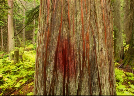A tree stained red with the crimson fluid of the tôlâ worm.