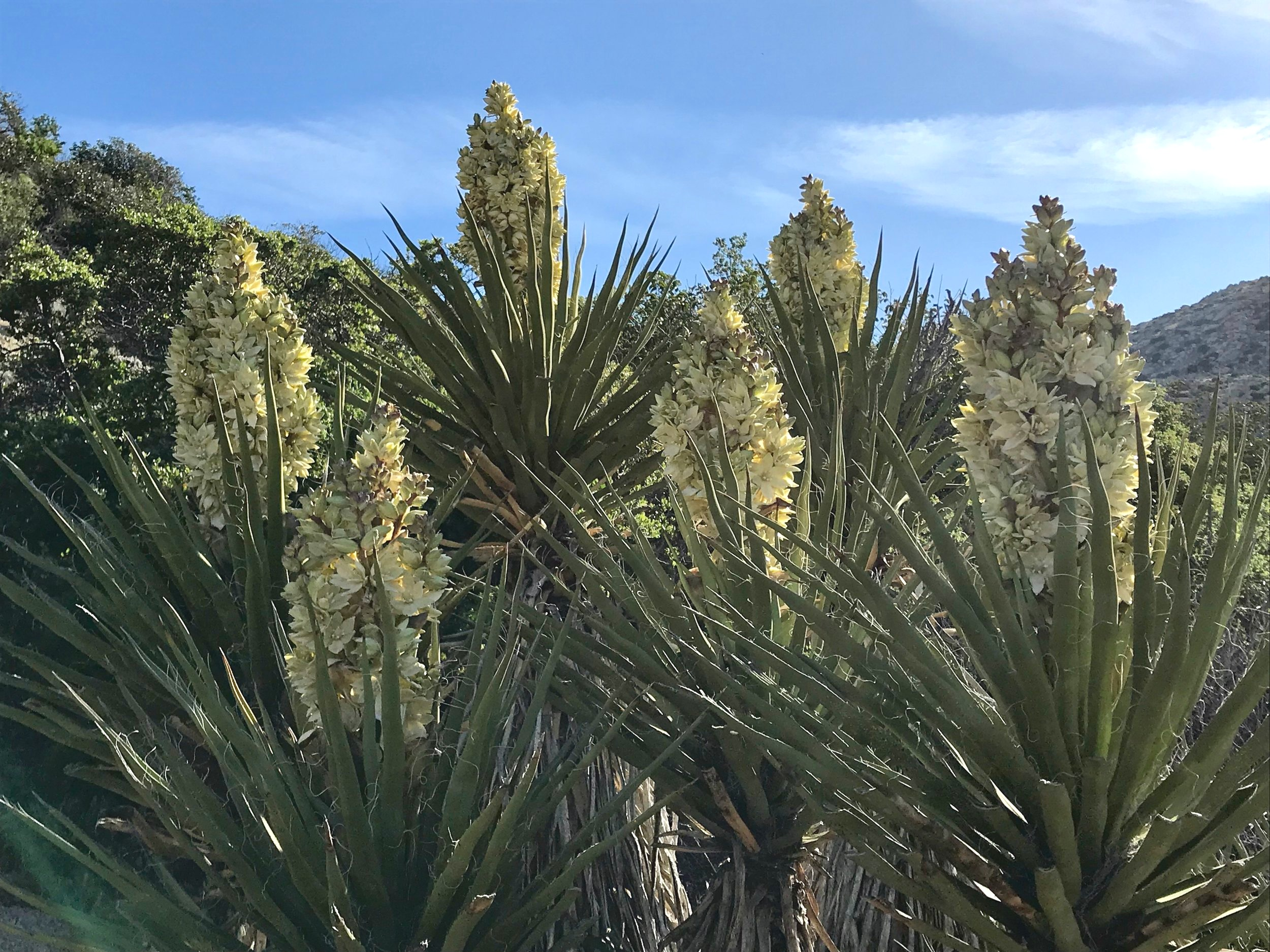 Beautiful blooming yucca flowers in the Anza-Borrego Desert