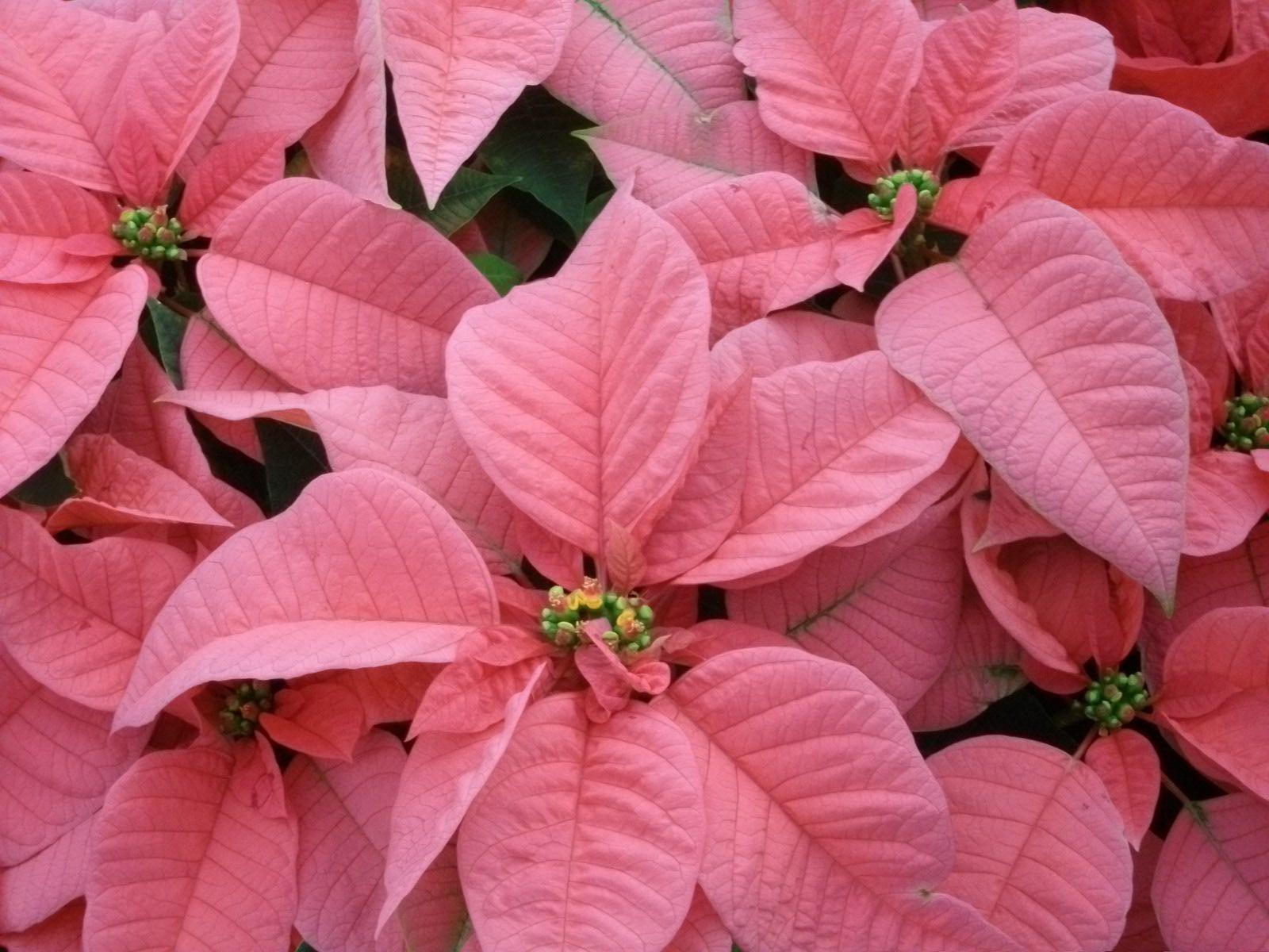 pink-poinsettia.jpg