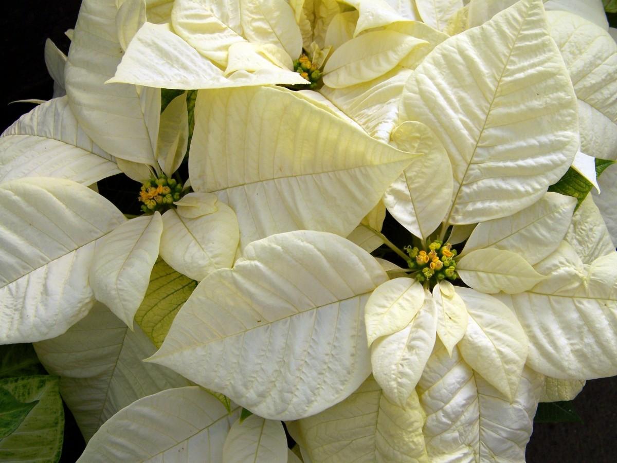 white_poinsettia_poinsettias_christmas_flower_christmas_xmas_flowers_euphorbia_pulcherrima_holiday_flowers-1259514.jpg!d.jpg