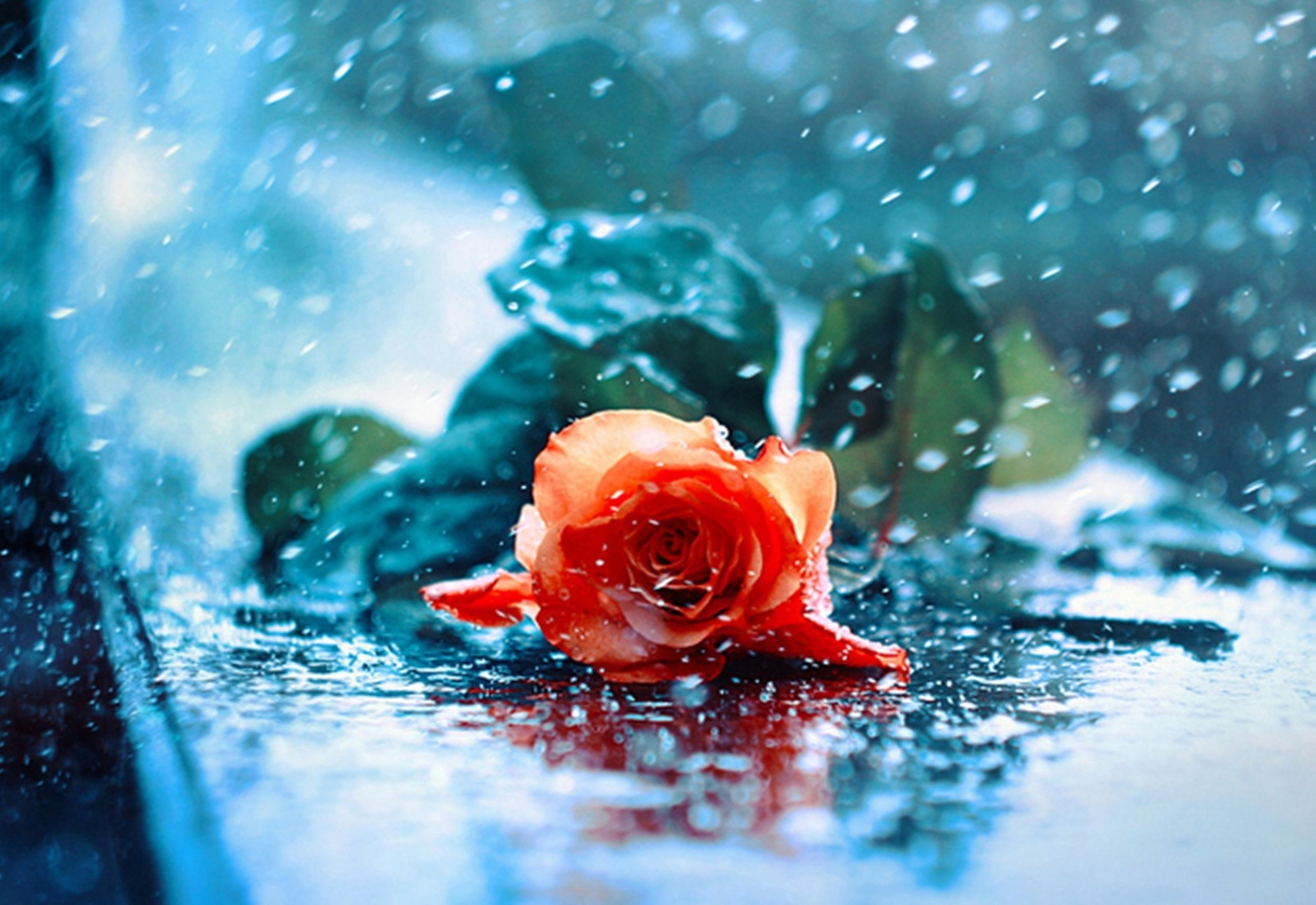 rose-with-water-drops-wallpaper-3.jpg