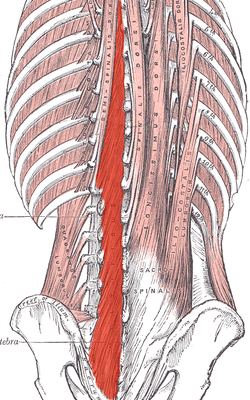 Multifidus of the human spine - Image source: Wikipedia