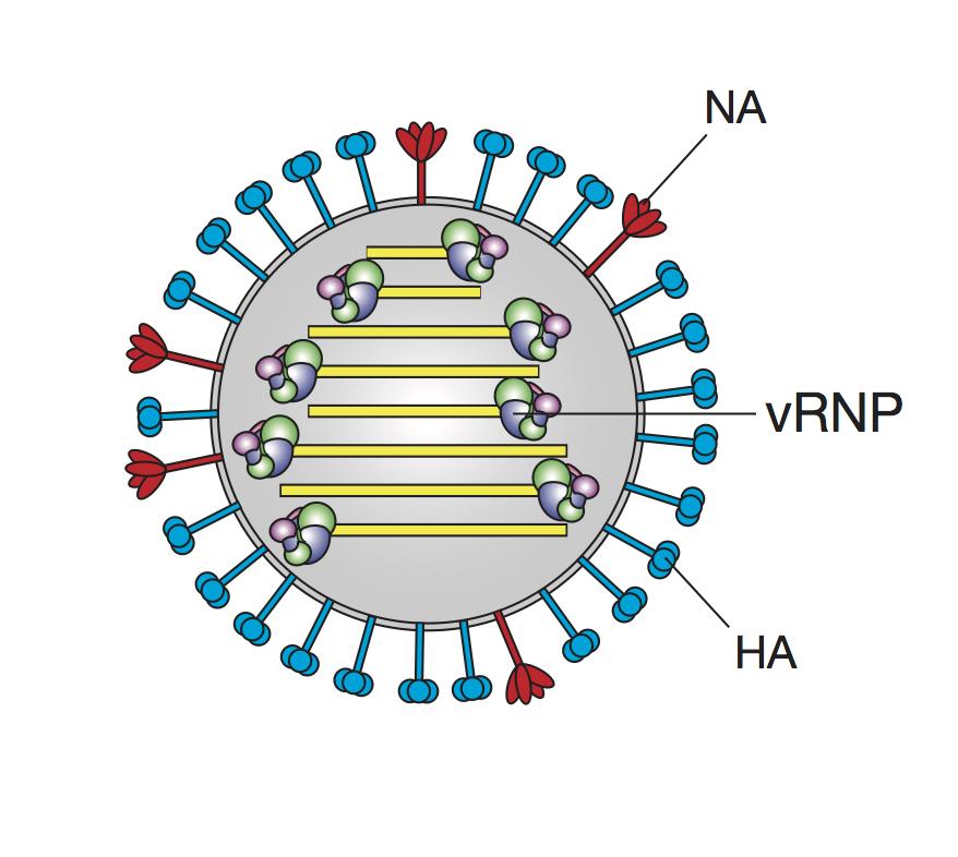 Virus particle.jpg