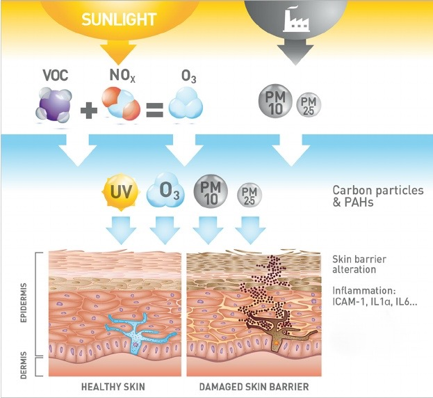 A brief diagram that shows how pollution can damage the skin. PM2.5 can travel through the skin's top later of the epidermis which will cause inflammation and change to the skins make-up.  Image Source: www.researchgate.net