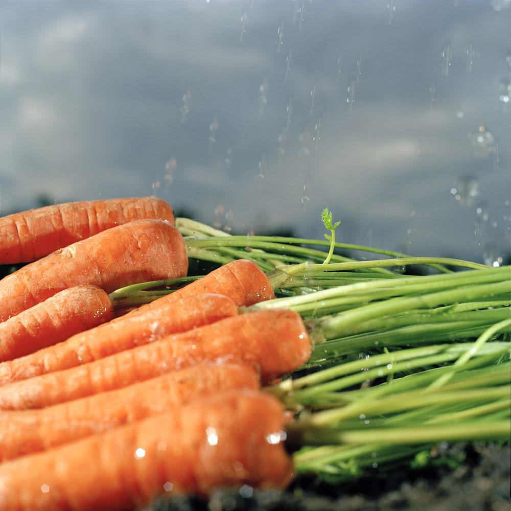 Roy Mehta Carrots