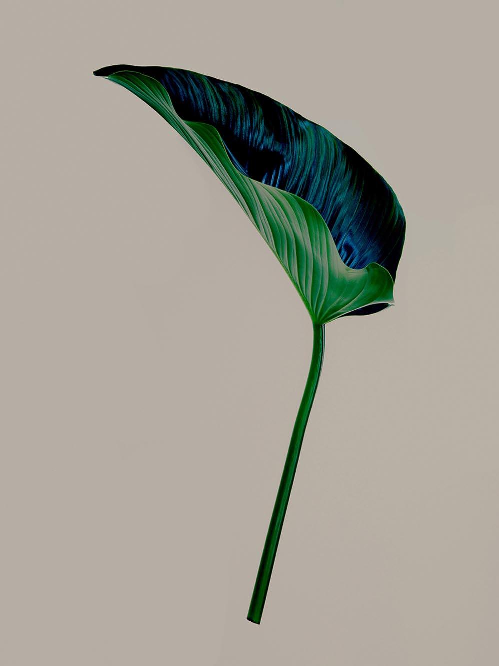 Noel McLaughlin Leaf